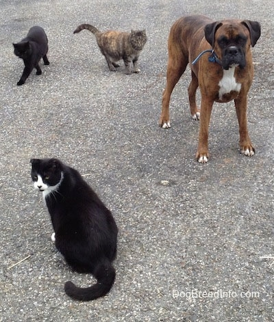 Bruno the Boxer sitting on a blacktop with three cats around him