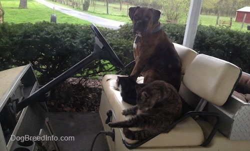 Bruno the Boxer sitting in a golf cart with Two Cats