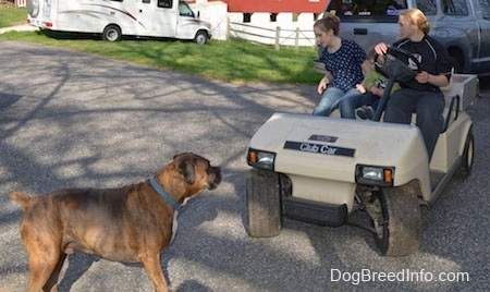 Bruno the Boxer standing in front of the golf cart, that Amie and Sara are trying to drive