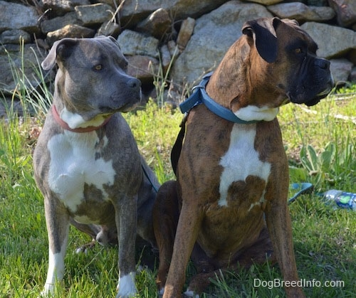 Spencer the Pit Bull and Bruno the Boxer sitting in front of a rock structure