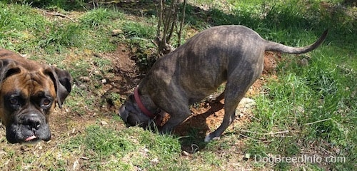 Spencer the Pit Bull Terrier digging a hole and Bruno the Boxer looking at the camera with part of his tongue showing
