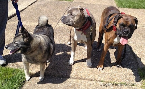Tia the Norwegian Elkhound, Spencer the Pitbull Terrier and Bruno the Boxer all waiting to continue a walk