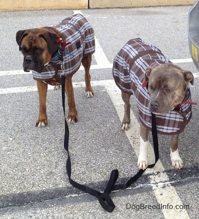 Spencer the Pit Bull Terrier and Bruno the Boxer wearing coats in a parking lot