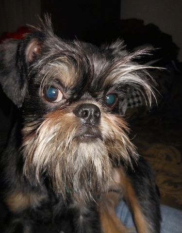 Close Up - A wiry looking black and brown dog standing on a couch with a face that shows a lot of wise old attitude