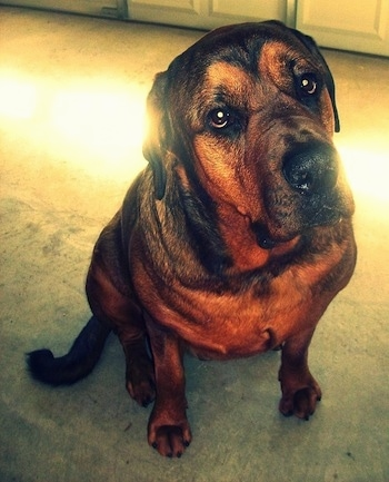 Deizel the Bullmastiff / Rottweiler full grown at 4 years old weighing 185 lbs.