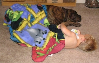 Waylon the Mastweiler sleeping next to a child in a blanket