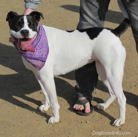 The left side of a white with black Bullboxer Pit, that is standing across a dirt surface, it is wearing a purple bandana, its mouth is open and its tongue is out. There is a person standing behind it.