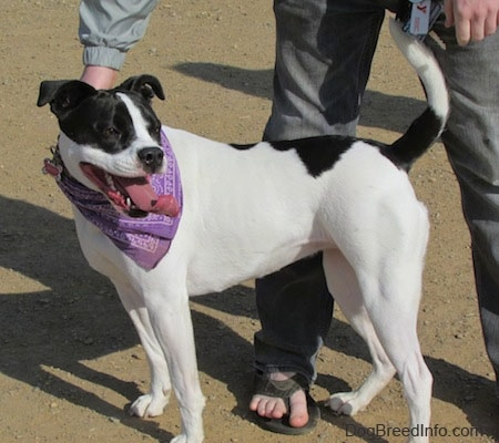 The left side of a white with black Bullboxer Pit that is standing across dirt, it is wearing a purple bandana, it is looking to the right and it is standing in front of a person.
