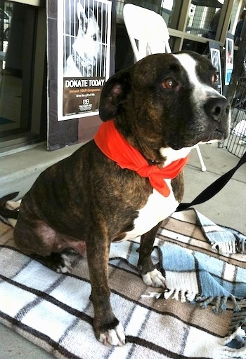 Olly Bear the Bullboxer Staff wearing a bandana sitting on a blanket outside of a store