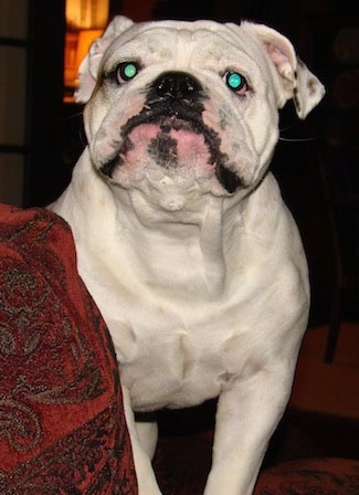 The front right side of a white English Bulldog that is standing behind the arm of a couch and it is looking up.