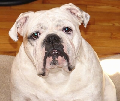 Close Up - The front left side of a white English Bulldog that is sitting on a dog bed, its head is slightly tilted to the left and it is looking forward.