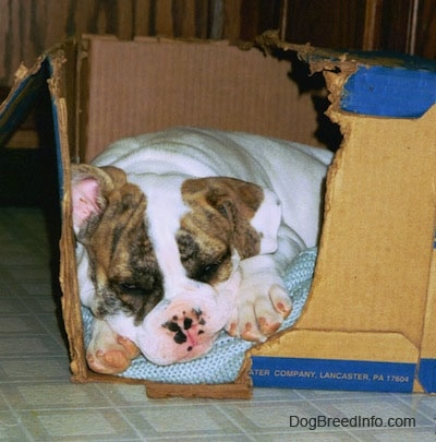 A white with brown Bulldog puppy sleeping in a chewed cardboard box.