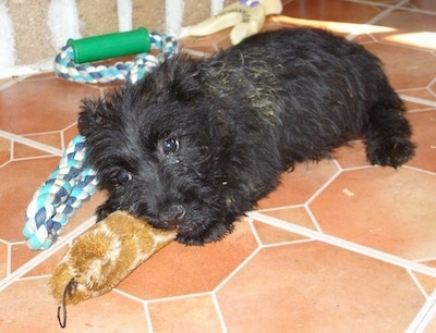 A black Bushland Terrier puppy laying on a brick color tile floor playing with a toy