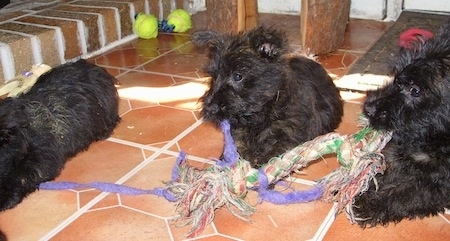 Three wiry looking black Bushland Terrier puppies each playing with the same rope toy