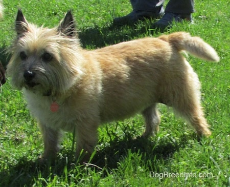 Anabelle the Cairn Terrier is standing outside and looking to the left with a person behind her