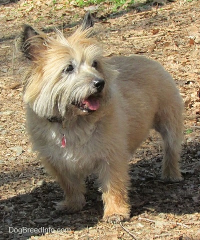 Anabelle the Cairn Terrier is standing outside in leaves and looking to the right