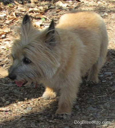 Anabelle the Cairn Terrier is standing in dirt and looking to the left with its mouth open and tongue out