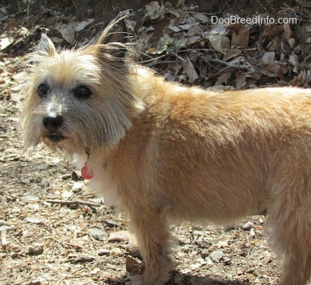Anabelle the Cairn Terrier is standing outside with a mound of leaves in the background