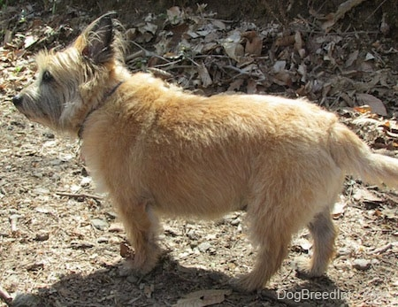 side view - Anabelle the Cairn Terrier is standing in dead leaves and looking to the left