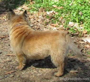 Side view - Anabelle the Cairn Terrier is standing outside and looking away from the camera