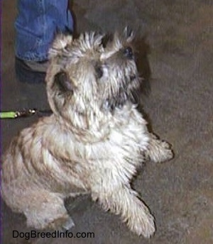 Cairn Terrier is sitting with his front paws up off of the ground in a begging pose on a cement floor and looking to the right