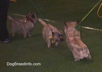 Three Cairn Terriers are standing on a dark green surface out on a showring floor