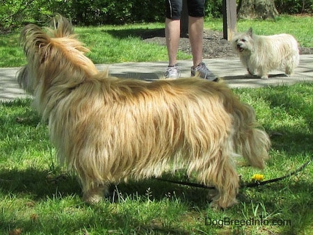 Right Profile - Charlotte the Cairn Terrier is standing in grass and looking to the right of its body. There is a person walking another Cairn Terrier in the background