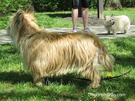 Right Profile - Charlotte the Cairn Terrier is standing in grass and looking to the right of its body
