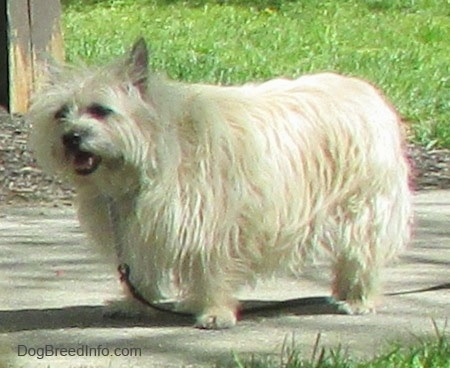 Fannie Mae the Cairn Terrier is standing on a sidewalk and looking to the left with her mouth open
