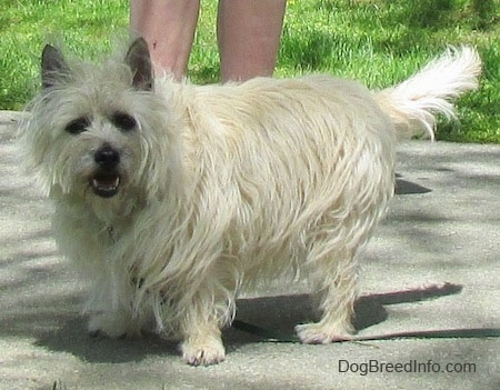 Fannie Mae the Cairn Terrier is standing on a sidewalk with a person standing behind her