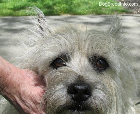 Close Up head shot - Fannie Mae the Cairn Terrier is being pet by a person