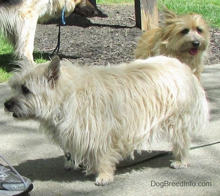 Fannie Mae the Cairn Terrier is standing on a sidewalk in front of a person and there is another Cairn Terrier and a Shepherd behind her