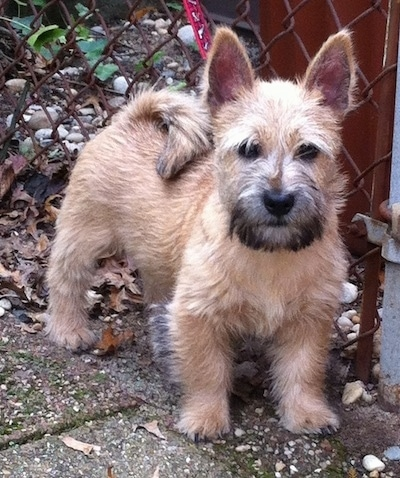 Sprocket the Cairnwich Terrier standing on a sidewalk in front of a chain link fence and looking at the camera holder