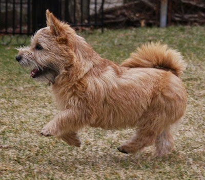 Right Profile - Sprocket the Cairnwich Terrier running across a lawn feet in mid-air with its mouth open