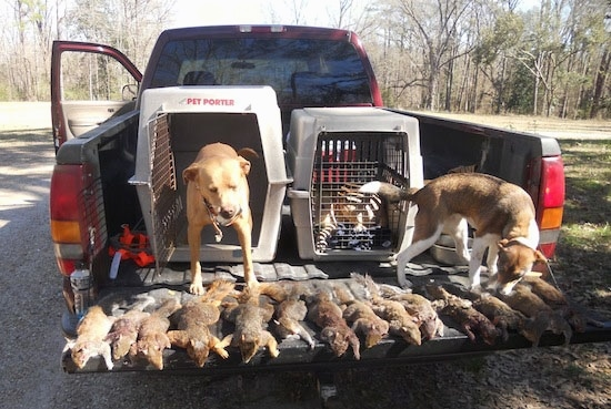 Mountain Cur Squirrel Dogs