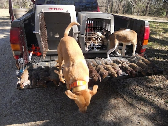 A tan with white Kemmer Stock Hybrid Squirrel Dog is jumping out of the back of a truck. The other Kemmer Stock Hybrid Squirrel Dog is drinking water out of a water bowl in the bed of the truck. There is a line of dead squirrels across the open tail gate of a truck bed