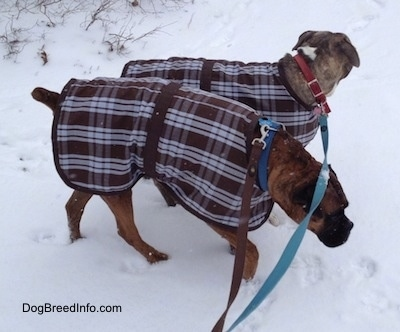 Spencer the Pit Bull Terrier and Bruno the Boxer walking in the snow with their coats on