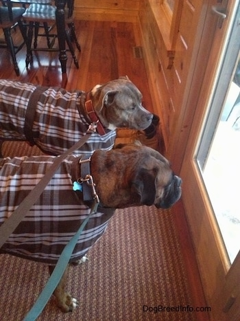 Bruno the Boxer and Spencer the Pit Bull Terrier wearing dog coats with their leashes snapped on looking out of a window