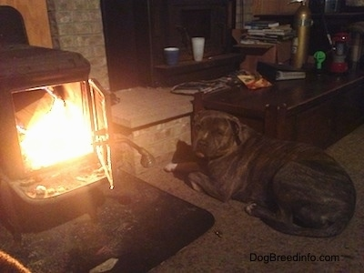 Spencer the Pit Bull Terrier laying near the fire