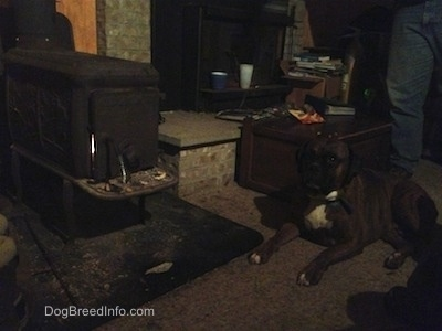 Bruno the Boxer by the fire