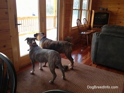 Spencer the Pit Bull Terrier and Bruno the Boxer in a cabin looking outside the glass door
