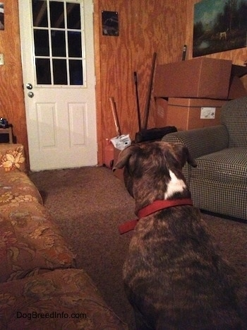 Spencer the Pit Bull Terrier in a cabin sitting down looking at the front door