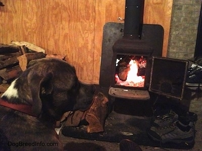 Spencer the Pit Bull Terrier by the warm wood burning stove