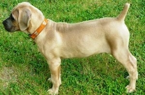 Left Profile - Cassie the Cane Corso Italiano as a puppy is standing outside in grass