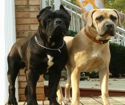 Cane Corso Italiano Dog Breed Information And Pictures