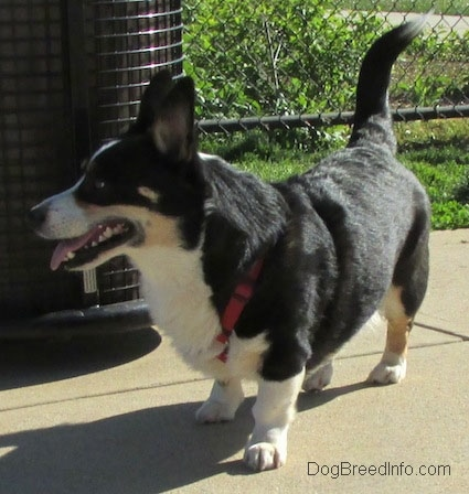 Craig the Cardigan Welsh Corgi is standing next to a trashcan in front of a chainlink fence
