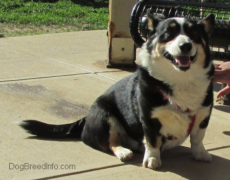 Craig the Cardigan Welsh Corgi is sitting on wet concrete with its mouth open and tongue out