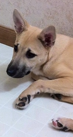 Sage the Carolina Dog is laying against a wall on a white tiled floor and looking forward