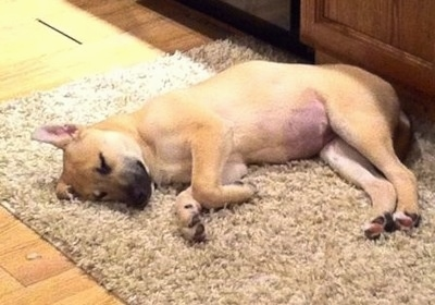 Sage the Carolina Dog as a puppy is sleeping on its side on a fuzzy rug