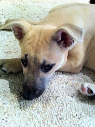 Close Up - Sage the Carolina Dog as a puppy is laying on a rug